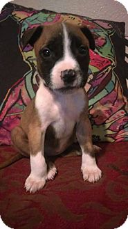American Pit Bull Terrier/Rottweiler Mix Puppy for adoption in Des Moines, Iowa - Harley Quinn