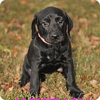 Adopt A Pet :: Anistasia - Colmar, PA