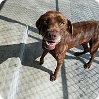 Adopt A Pet :: Champ - Cumming, GA