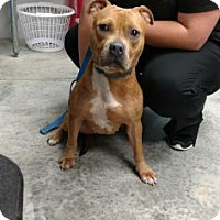 Pit Bull Terrier Mix Dog for adoption in Paducah, Kentucky - Hazel