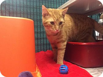 Domestic Shorthair Cat for adoption in Janesville, Wisconsin - Pod
