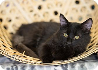 Domestic Mediumhair Kitten for adoption in Montclair, California - Henry