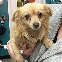 Adopt A Pet :: Valentino - Thousand Oaks, CA