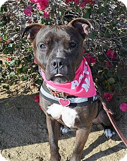 American Bulldog/American Pit Bull Terrier Mix Dog for adoption in Sherman Oaks, California - Kira
