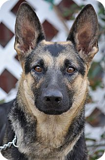 German Shepherd Dog Mix Dog for adoption in Los Angeles, California - Constance von Calw