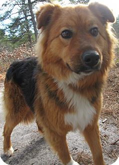 Collie/Retriever (Unknown Type) Mix Dog for adoption in Forked River, New Jersey - Rosey