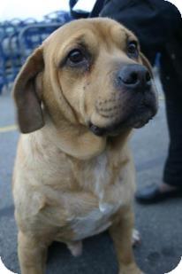Labrador Retriever/Hound (Unknown Type) Mix Dog for adoption in Avon, Ohio - JAKE