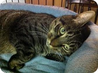 Domestic Shorthair Cat for adoption in River Edge, New Jersey - Simon