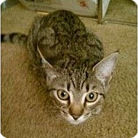 Domestic Shorthair Kitten for adoption in Trexlertown, Pennsylvania - Tillie- New pictures!