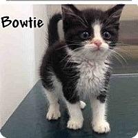 Adopt A Pet :: Bowtie - Mobile, AL