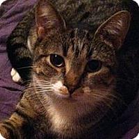 Adopt A Pet :: Corduroy - Reston, VA