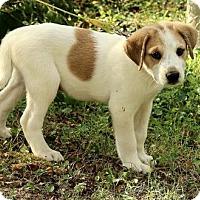 Adopt A Pet :: Abbott - Brattleboro, VT