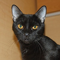 Domestic Shorthair Cat for adoption in Whittier, California - Boo