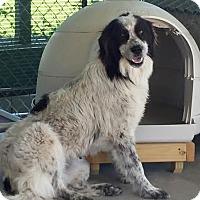 Adopt A Pet :: Lola - Pacific, MO