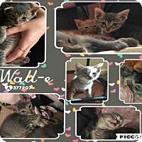 Adopt A Pet :: WALL-E - San Antonio, TX