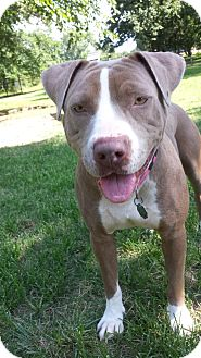 American Staffordshire Terrier/Shar Pei Mix Dog for adoption in FORT WORTH, Texas - TRINITY