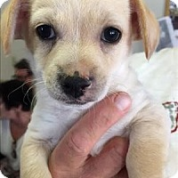 Adopt A Pet :: Louis - Chanel pup - Encino, CA