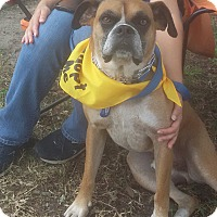 Boxer Dog for adoption in Shallotte, North Carolina - Rudy