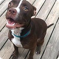 Labrador Retriever/Boxer Mix Dog for adoption in Boston, Massachusetts - Cam