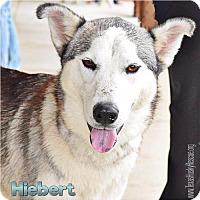 Siberian Husky Dog for adoption in Carrollton, Texas - Hiebert