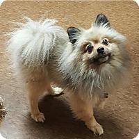 Adopt A Pet :: Nico - Albion, NY
