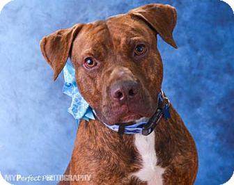 American Pit Bull Terrier Mix Dog for adoption in Miami, Florida - wes