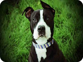 Pit Bull Terrier Dog for adoption in Decatur, Illinois - CALAB
