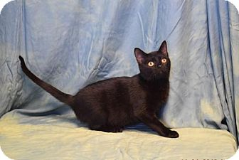 Domestic Shorthair Cat for adoption in Kankakee, Illinois - Paige