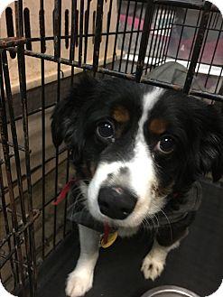Australian Shepherd Dog for adoption in Parker, Kansas - Bubba