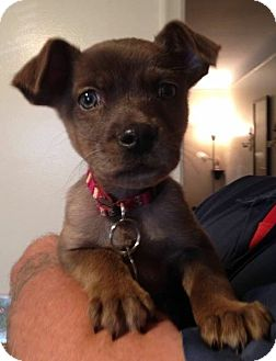 Terrier (Unknown Type, Medium) Mix Puppy for adoption in Livonia, Michigan - Kevin-ADOPTED
