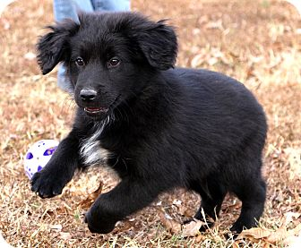 Australian Shepherd/Labrador Retriever Mix Puppy for adoption in Glastonbury, Connecticut - Casanova~adopted!