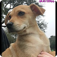 Adopt A Pet :: Scarlett (ADOPT PENDING) - Buda, TX