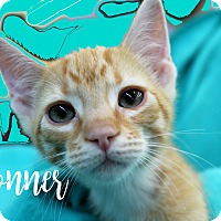 Adopt A Pet :: Donner - Wichita Falls, TX