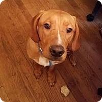 Adopt A Pet :: Braxton - Fairfield, OH