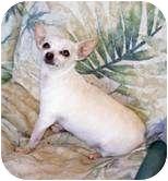 Chihuahua Dog for adoption in Seattle, Washington - Shorty