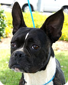 boxer and boston terrier mix carter adopted dog north augusta sc boston terrier 572