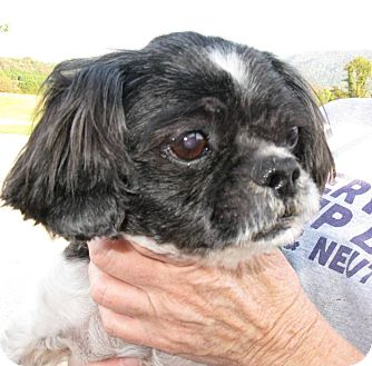 shih tzu rescue va dublin va shih tzu mix meet sson a dog for adoption 8113