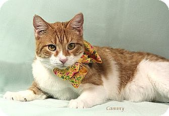 Domestic Shorthair Cat for adoption in Kerrville, Texas - Cammy