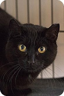 Domestic Shorthair Cat for adoption in Lombard, Illinois - Raven