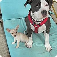 Adopt A Pet :: Oona - Encino, CA