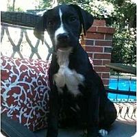 Adopt A Pet :: Peace - Alexandria, VA