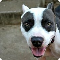 Adopt A Pet :: Miss Piggy - Austin, TX