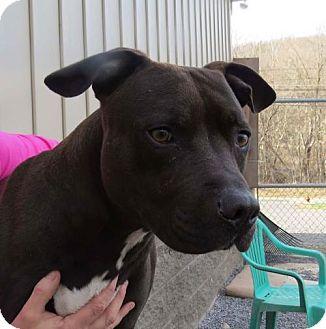 Terrier (Unknown Type, Medium) Mix Dog for adoption in Covington, Virginia - Amos