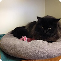 Adopt A Pet :: Prince Harry - Savanna, IL
