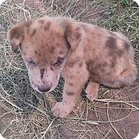 Adopt A Pet :: Scotch - Waller, TX