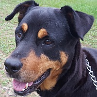 Rottweiler Dog for adoption in Alachua, Georgia - Sarabella