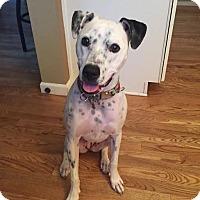 Dalmatian Mix Dog for adoption in Denver, Colorado - Tory