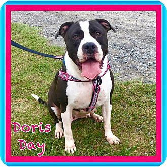 American Bulldog/American Pit Bull Terrier Mix Dog for adoption in Charlotte, North Carolina - Doris Day