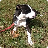 American Pit Bull Terrier/American Staffordshire Terrier Mix Dog for adoption in Covington, Tennessee - Charlotte