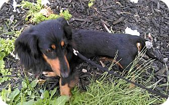 Dachshund Dog for adoption in Rochester, New York - Mitsey